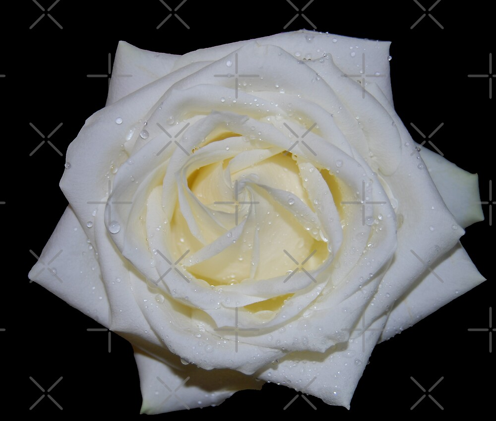 White Dew Laden Rose by Peter Green