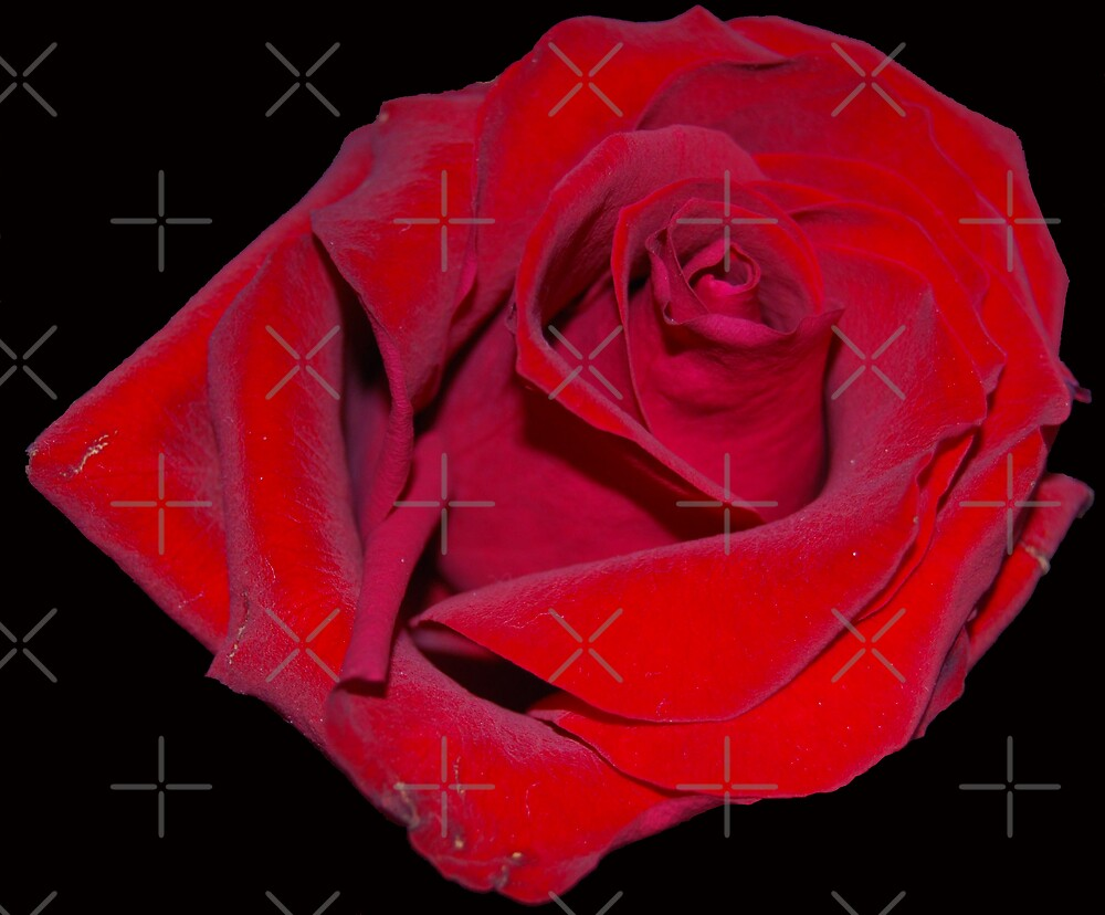 Red Rose by Peter Green