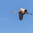 Sandhill Crane 2017-2 by Thomas Young