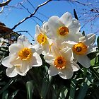 Sunny Faces of Spring - Gold and White Narcissus Flowers by rvjames