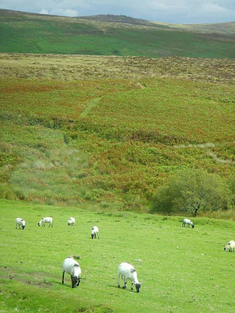Dartmoor sheep by cadburylove