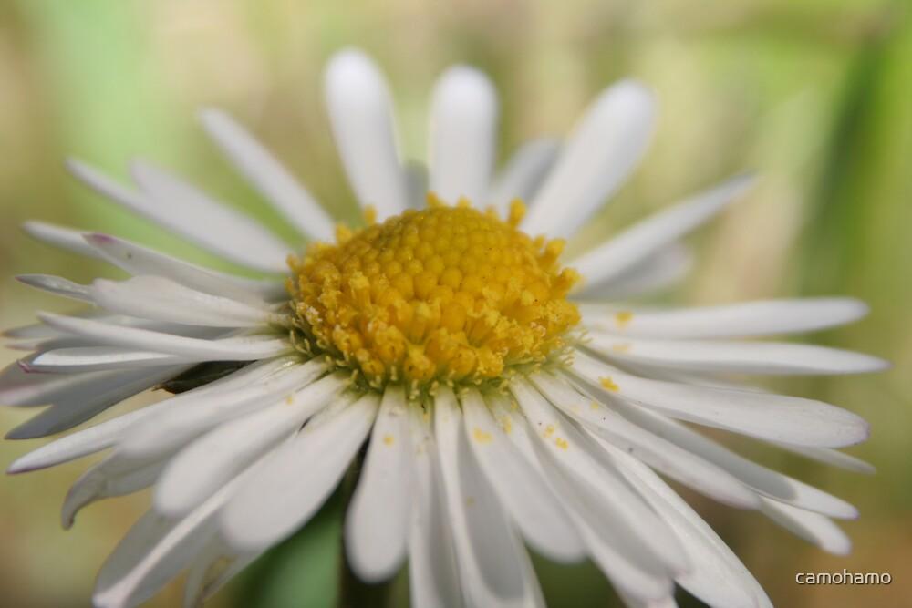 Close up Daisy by camohamo