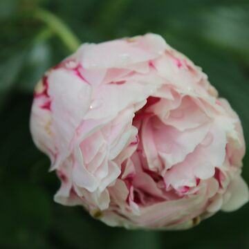 Pretty Pink Peony  by RosevineCottage
