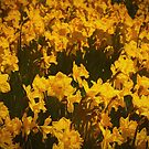 A host of golden daffodils by Celeste Mookherjee