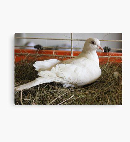 Little White Dove 2 Canvas Print
