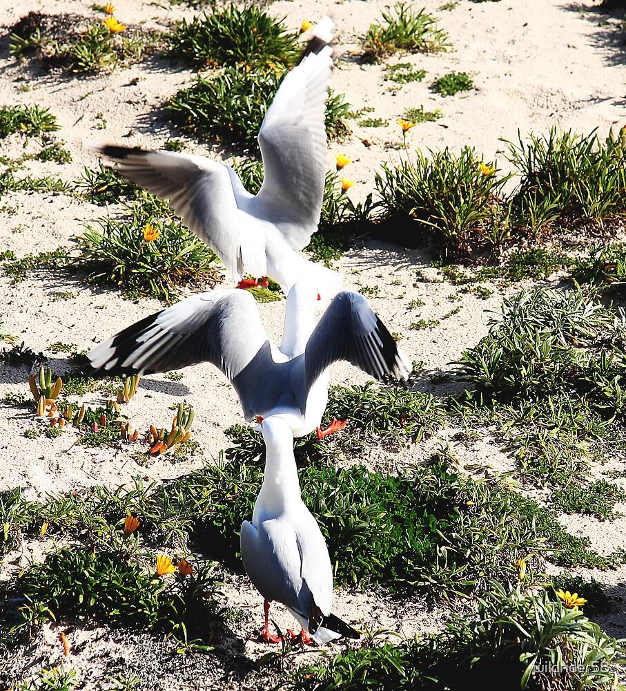 Silver gulls by wildrider58