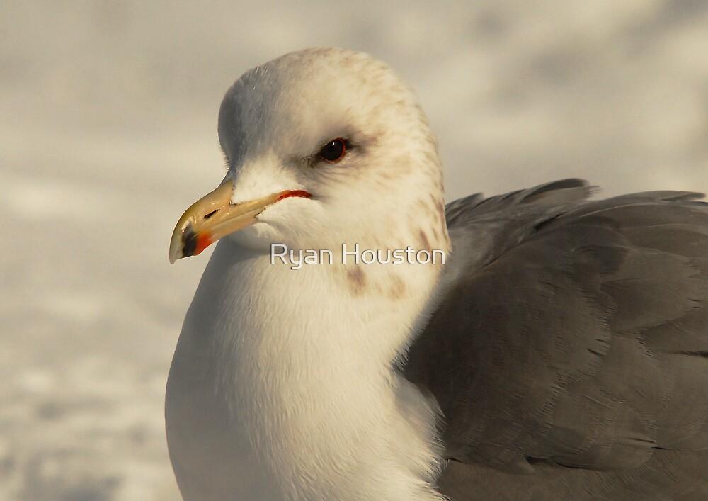 California Gull-Sugarhouse Park, Utah by Ryan Houston