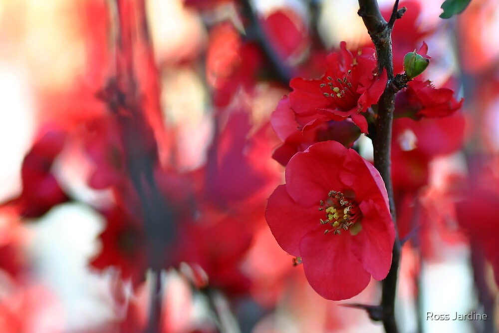RED  BLOSSOM by Ross Jardine