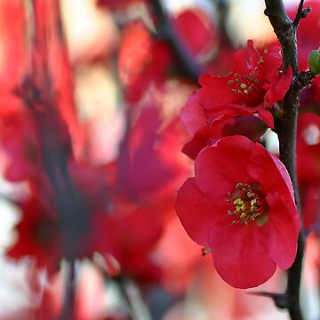 RED  BLOSSOM by rosscojj