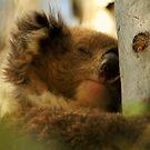 Koala Sleeping by D-GaP