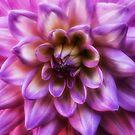 Pink Dahlia by yolanda