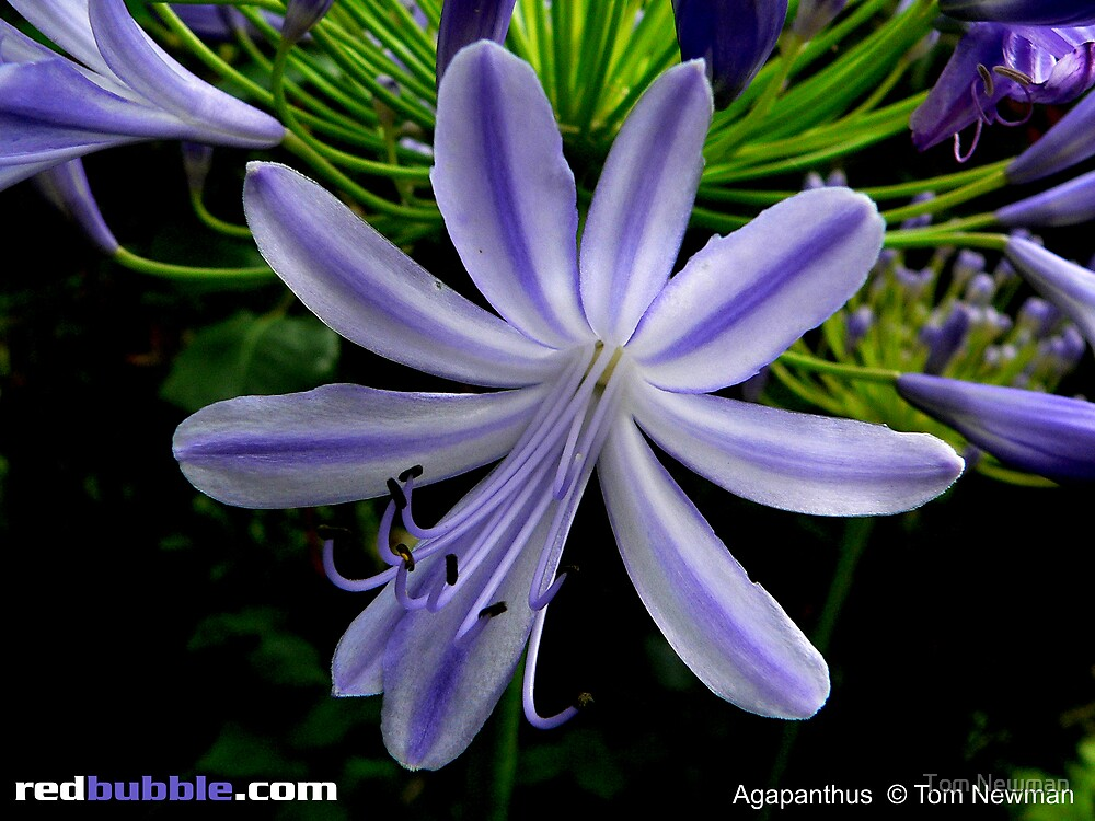 Agapanthus by Tom Newman