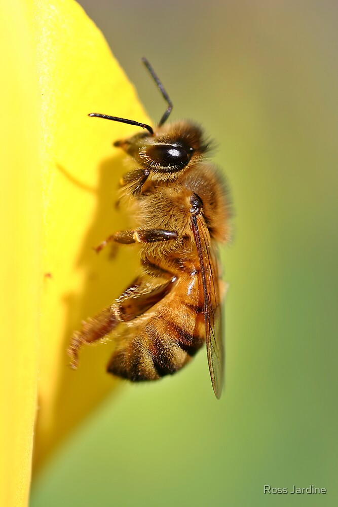 Honey Bee by Ross Jardine