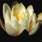White Lotus by © Kira Bodensted