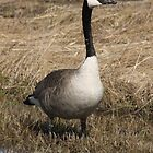 Lone Goose by Stephen Thomas