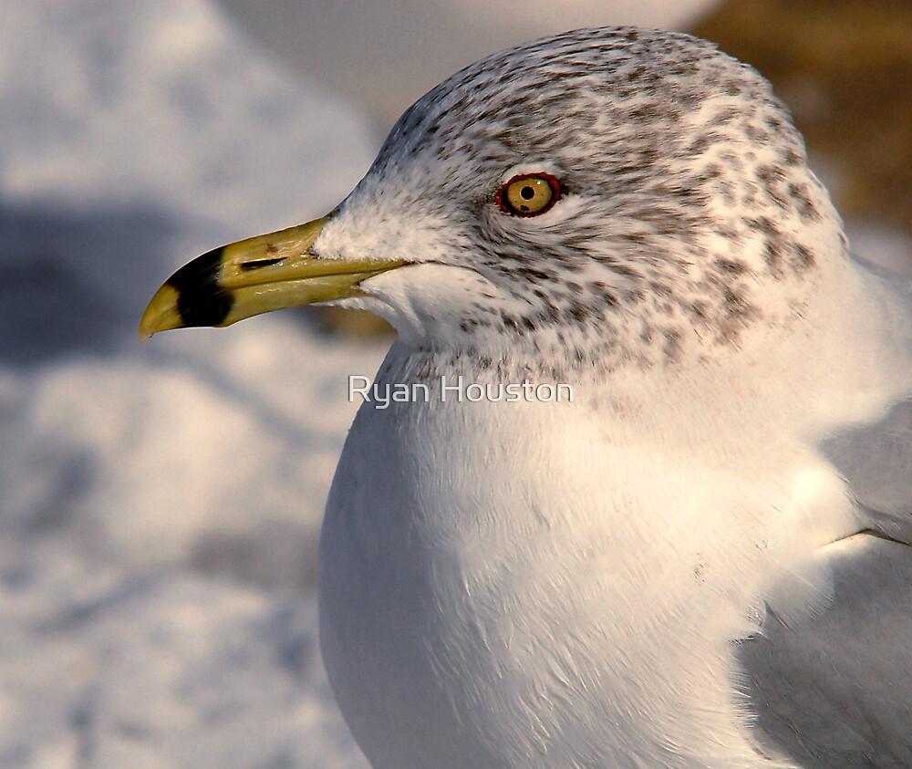Ring-Billed Gull by Ryan Houston