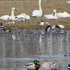 Swans and Ducks by MaeBelle