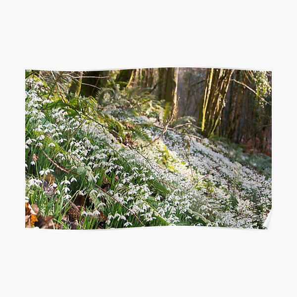 Snowdrops on Exmoor Poster