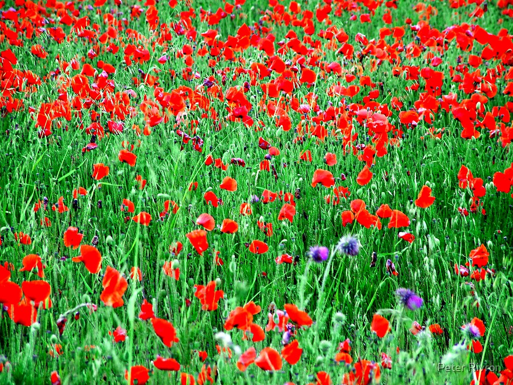 Fields of Red by Peter Rivron