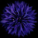 Purple Burst by iamelmana