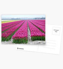 Dutch tulip field Postcards