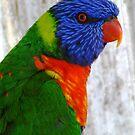Rainbow Lorikeet by Coralie Plozza