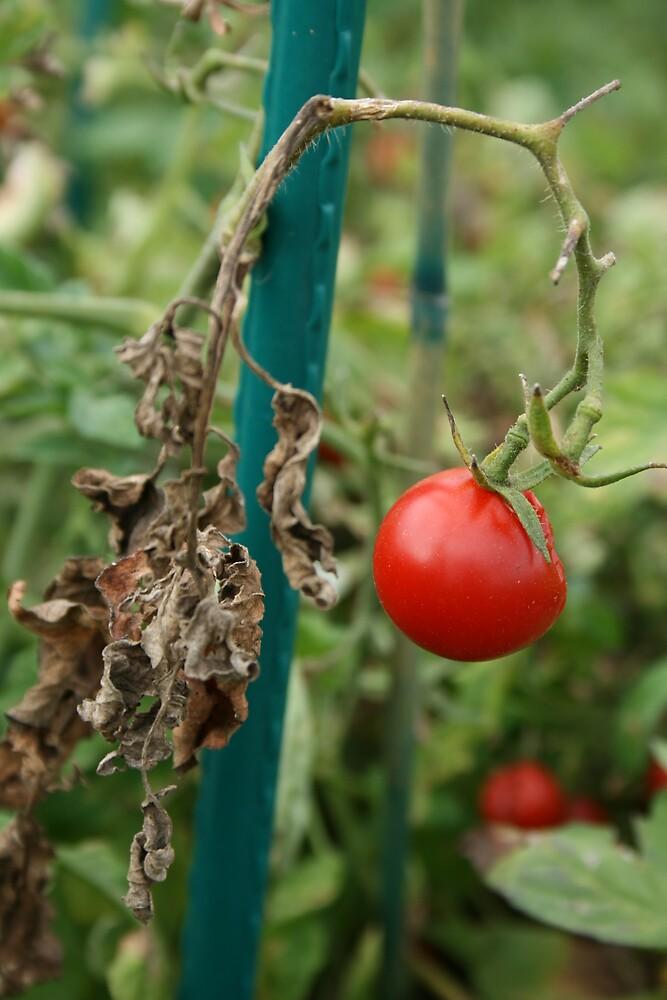 Tomato by Emma Jones