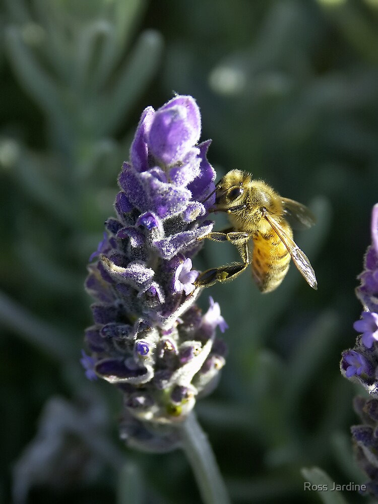 Lavender Bee 3 by Ross Jardine