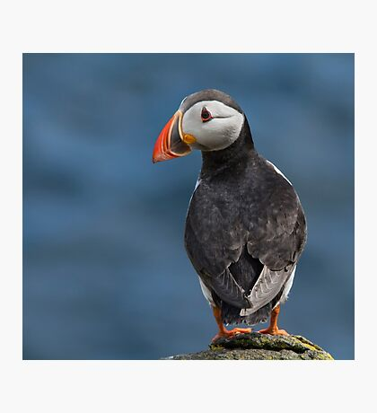 Puffin Photographic Print