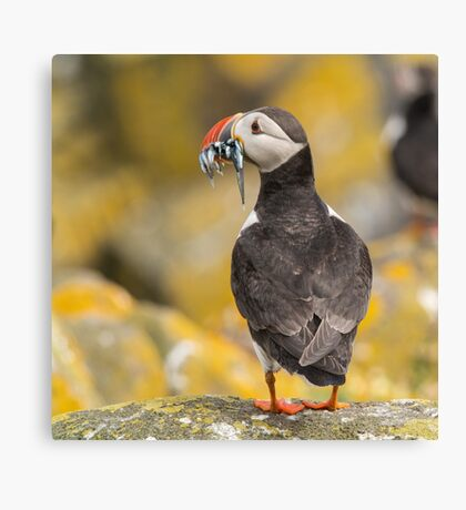 Puffin with sandeels Canvas Print