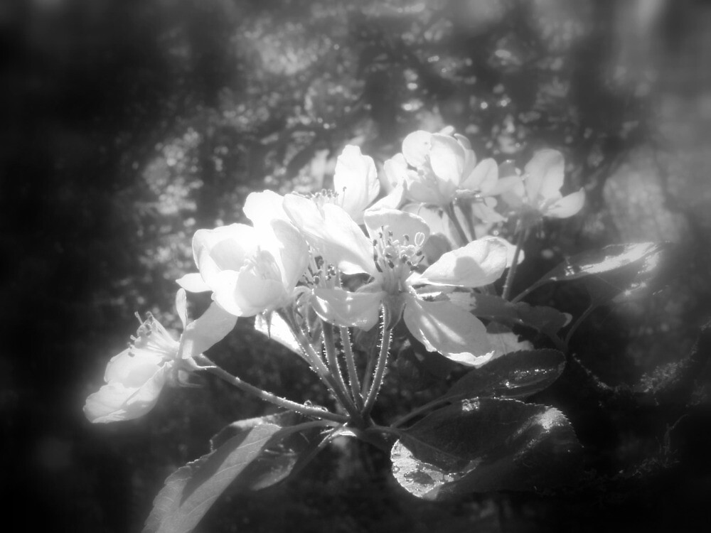 apple blossoms #3, black and white by Dawna Morton