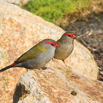 Red-browed Firetail by MelvaVivian