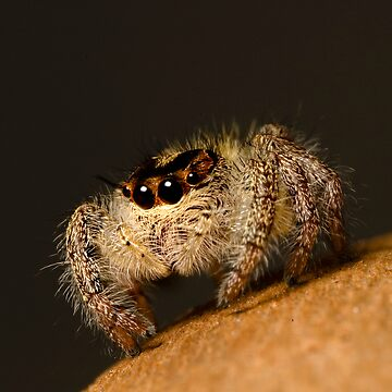 Jumping Spider by biawak