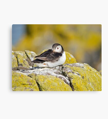 Resting Puffin Canvas Print