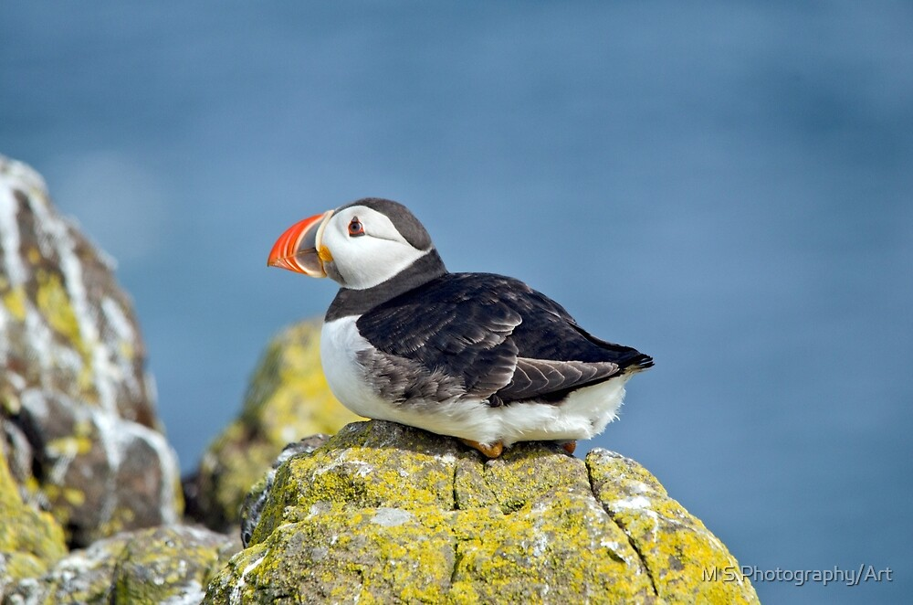 Puffin on the rocks by M S Photography/Art