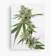 Gorilla Glue Live Cannabis Flower Canvas Print