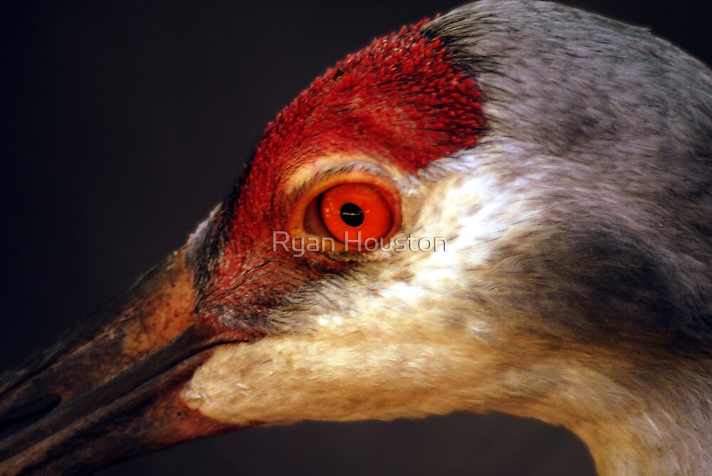 Sandhill Crane by Ryan Houston