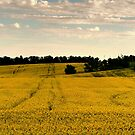 Canola Gold by Larry Trupp