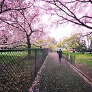 Spring Path Through Cherry Blossoms by Vivienne Gucwa