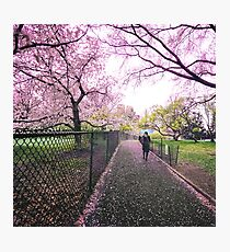 Spring Path Through Cherry Blossoms Photographic Print