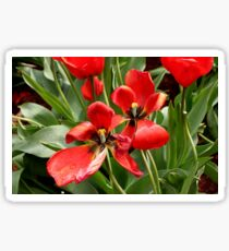 Red, black and yellow tulips Sticker