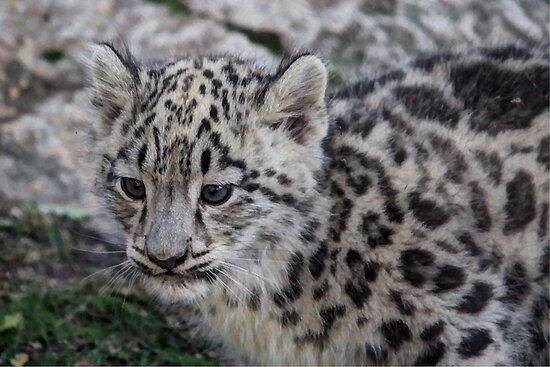 Baby Snow Leopard by Larry Trupp