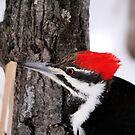 Pileated Woodpecker by Larry Trupp
