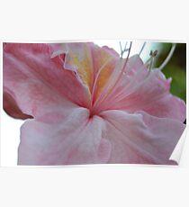 Pink Rhodie Poster