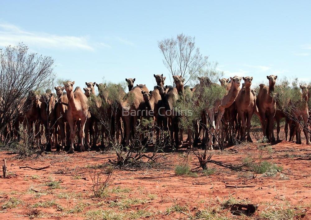 Count the Camels by Barrie Collins