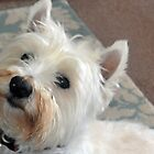 West Highland Terrier Archie..... by lynn carter