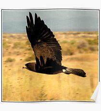 Swainson's Hawk Dark Morph Poster