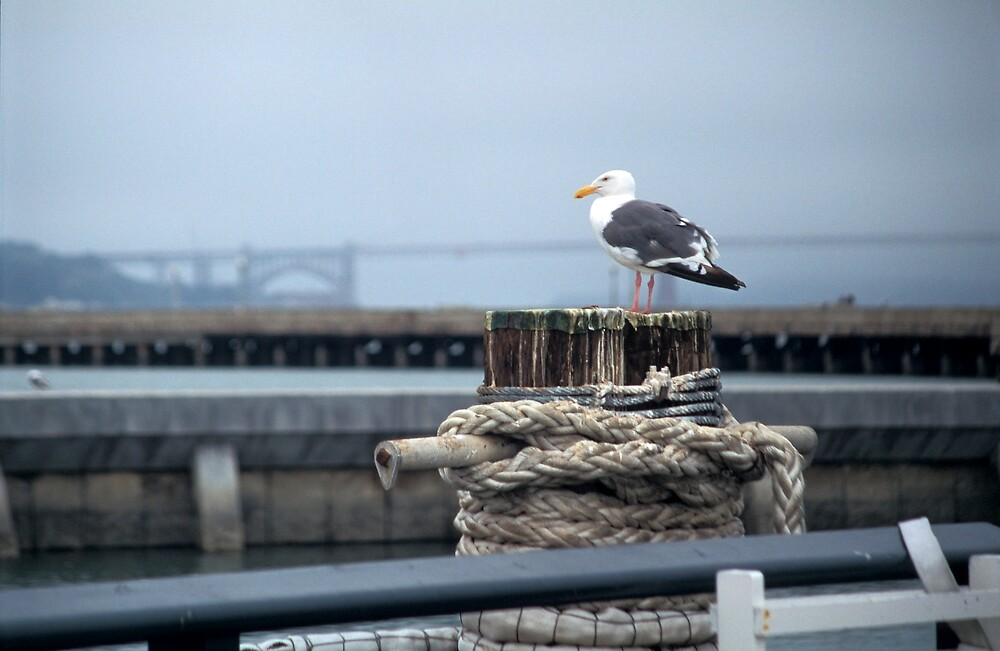Seagull at Fisherman's Wharf by sasjacobs