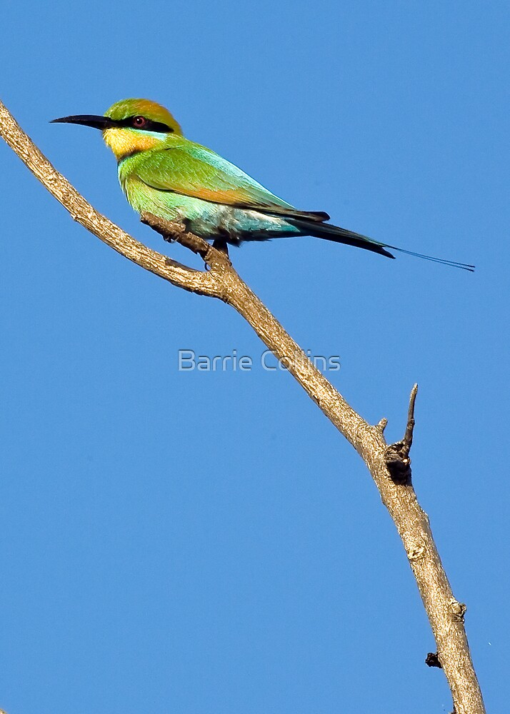 Rainbow Bee-Eater by Barrie Collins