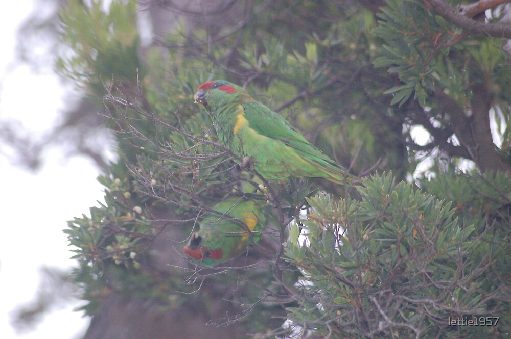 Parrots Feasting  by lettie1957